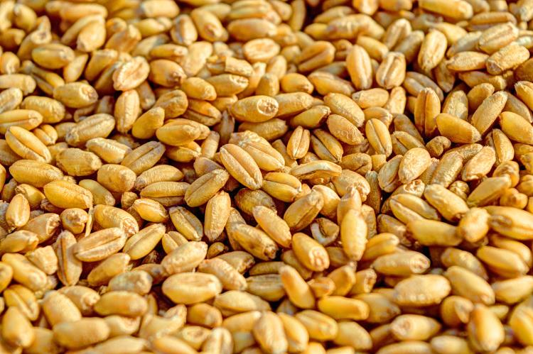 Wheat grains containing gluten