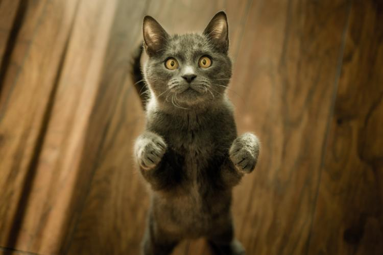 A grey cat standing on two legs looking at the camera