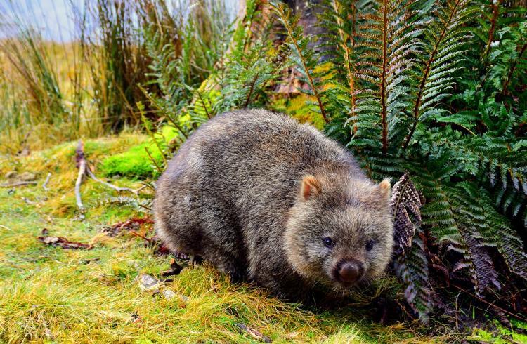 Wombat in Cradle Mountain Australia
