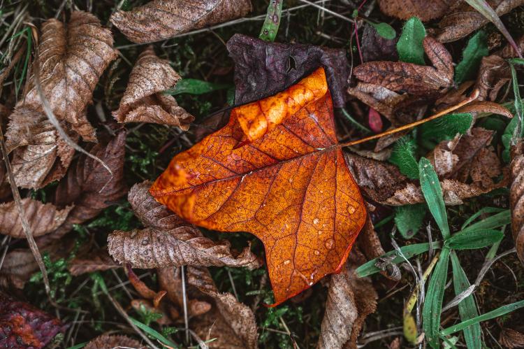 maple leaf on brown dried leaves