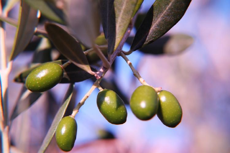 green olives over branch