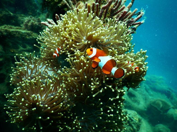 Nursery fish on coral