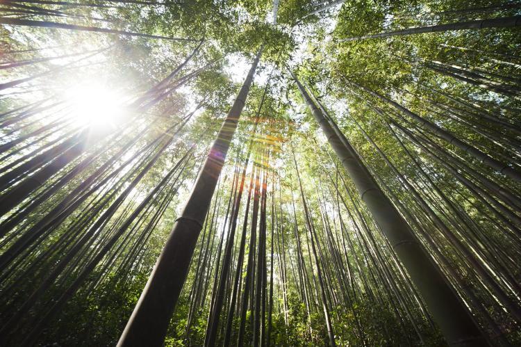 bamboo-damyang-sunshine-54601