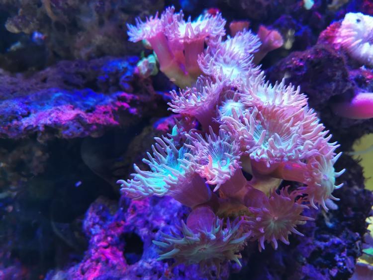 Pink Coral Reef