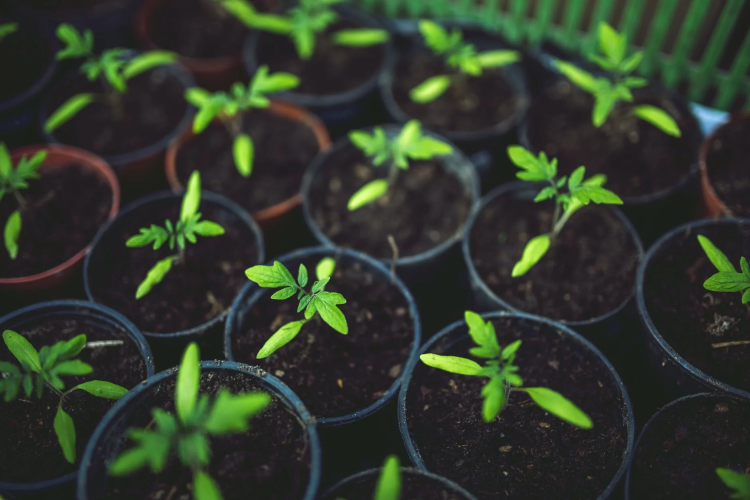 young tomato plants on pots