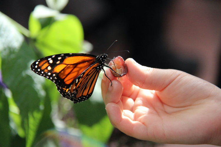 monarch butterfly on a woman\'s hand