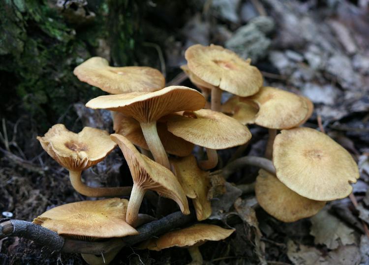 honey-mushrooms-57222_1920