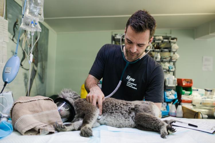 Volunteer aiding Koala