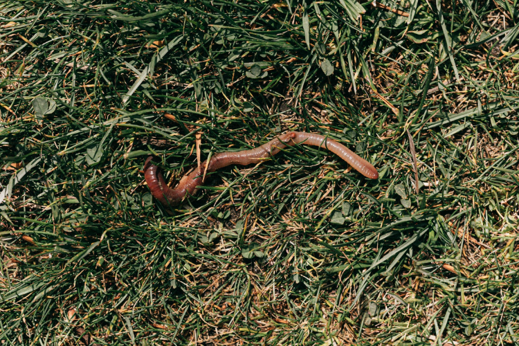 red earthworm crawling on grass
