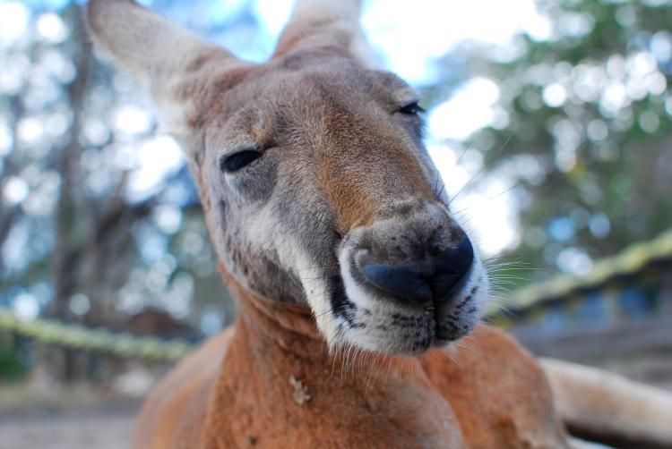 The face of a Kangaroo
